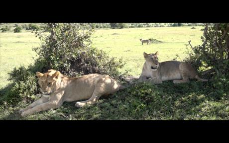 lions-kenyan-eyes